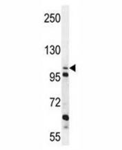 ZGRF1 antibody western blot analysis in K562 lysate