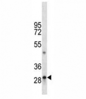 TPSAB1 antibody western blot analysis in mouse liver tissue lysate.