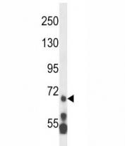MLL5 antibody western blot analysis in HL-60 lysate.