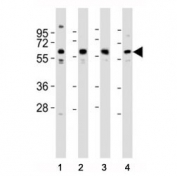 Western blot testing of Pyruvate Kinase antibody at 1:2000 dilution. Lane 1: MCF-7 lysate; 2: HeLa; 3: NIH3T3; 4: PC-12; Predicted molecular weight ~ 58 kDa.