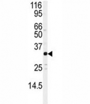 Western blot analysis of JUND antibody and Jurkat lysate. Predicted molecular weight: ~39/34kDa (JUND-L/JUND-S).