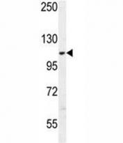 AARS2 antibody western blot analysis in K562 lysate