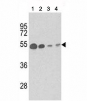 Western blot analysis of b-Tubulin antibody and (1) mouse brain tissue, (2) Y79, (3) CEM and (4) 293 lysate.