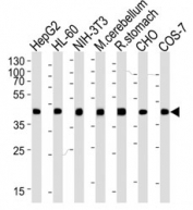 Western blot analysis of lysate from HepG2, HL-60, mouse NIH3T3 cell line, mouse cerebellum and rat stomach tissue lysate, CHO, COS-7 lysate (left to right) using beta-Actin antibody at 1:1000 for each lane.