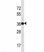 NANOG antibody western blot analysis in K562 lysate. Predicted molecular weight: 35-45 kDa.