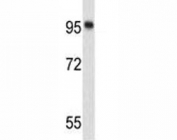 Western blot analysis of Nucleolin antibody and 293 lysate. Predicted molecular weight is 77 kDa, observed size is 100~110 kDa.