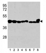 Western blot analysis of b-Actin antibody in 1) K562, 2) HL-60, 3) HeLa cell line, and mouse tissues 4) spleen, 5) liver, 6) mouse NIH3T3 cell lysate, 7) mouse cerebellum and 8) mouse brain tissue lysate