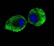 Confocal immunofluorescent analysis of ALDH1A1 antibody with NCI-H460 cells followed by Alexa Fluor 488-conjugated goat anti-mouse lgG (green). DAPI was used as a nuclear counterstain (blue).