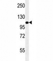 LAMP2 antibody western blot analysis in mouse NIH3T3 lysate. The protein can be extensively glycosylated and visualized from 45~110 kDa.