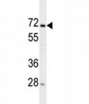 MIPEP antibody western blot analysis in 293 lysate.