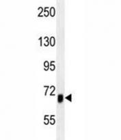 ACVR1B antibody western blot analysis in mouse heart tissue lysate
