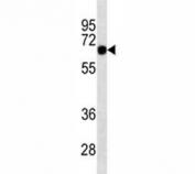 SOX9 antibody western blot analysis in K562 lysate. Predicted molecular weight: 56-65 kDa.