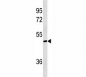 AKT1S1 antibody western blot analysis in A375 lysate. Expected molecular weight ~40 kDa.