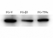 FG Pancreatic Carcinoma Cell Lines stably expressing vector along (FG-V) the b3 integrin subunit (FG-b3) or a b3 truncation mutant (FG-759x). Src antibody was diluted 1:500 and incubated overnight at 4oC.  Data and protocol kindly provided by Dr. Weis of Cheresh Lab, UCSD.