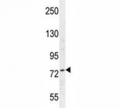 Nucleolin antibody western blot analysis in HepG2 lysate. Predicted molecular weight is 77 kDa, observed size is 100~110 kDa.