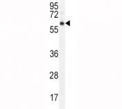 AKT antibody western blot analysis in mouse cerebellum tissue lysate