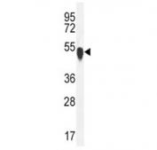 TUBA1C antibody western blot analysis in K562 lysate