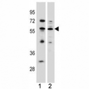 KLF4 antibody western blot analysis in (1) MCF-7 (2) K562 lysate. Predicted molecular weight: 50-60 kDa + possible ~75 kDa (phosphorylated form).