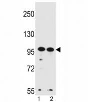 WDR3 antibody western blot analysis in HeLa, K562 lysate.