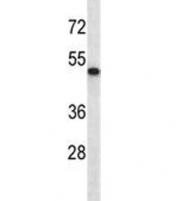 ABI2 antibody western blot analysis in mouse heart tissue lysate. Predicted molecular weight ~55 kDa.