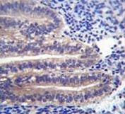 ANGPTL7 antibody immunohistochemistry analysis in formalin fixed and paraffin embedded human uterus tissue.