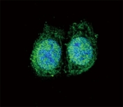 Confocal immunofluorescent analysis of Bcl-2 antibody with HeLa cells followed by Alexa Fluor 488-conjugated goat anti-rabbit lgG (green). DAPI was used as a nuclear counterstain (blue).