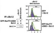 (Left) HEK293 cells transfected with a plasmid coding for a DNA-binding domain-deleted construct of Nur77 (GFP-Nur77/dDBD) by using NSJ# F42666 Bcl-2 antibody for IP and a different Bcl-2 antibody for WB. (Right) FACS testing of same transfected cells with NSJ# F42666.