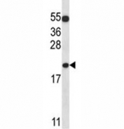 BAX antibody western blot analysis in K562 lysate