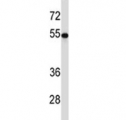 TUBB2A antibody western blot analysis with HEK293 lysate. Predicted molecular weight ~50 kDa.