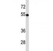 TUBB2A antibody western blot analysis with HEK293 lysate. Predicted molecular weight ~50 kDa.