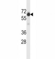 BECN1 antibody western blot analysis in WiDr lysate