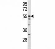 Akt2 antibody western blot analysis in mouse NIH3T3 lysate. Predicted molecular weight: ~56kDa.