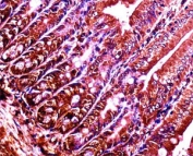 Abl1 antibody immunohistochemistry analysis in formalin fixed and paraffin embedded mouse duodenum tissue.
