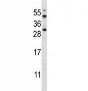 AKT1S1 antibody western blot analysis in HeLa lysate. Expected molecular weight ~40 kDa.
