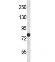 FACL4 antibody western blot analysis in human 293 lysate. Predicted molecular weight ~80 kDa.