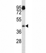 Aurka antibody western blot analysis in mouse NIH3T3 lysate. Predicted molecular weight ~45 kDa.