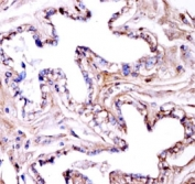 Akt1 antibody immunohistochemistry analysis in formalin fixed and paraffin embedded mouse gallbladder tissue.