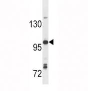 Anti-TLR7 antibody western blot analysis in Ramos lysate