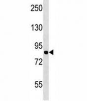 MCM7 antibody western blot analysis in Jurkat lysate.