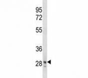 SNAI3 antibody western blot analysis in T47D lysate.