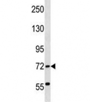 ABCF2 antibody western blot analysis in human K562 lysate. Predicted molecular weight ~71 kDa.