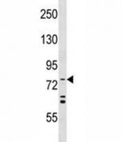ATG7 antibody western blot analysis in HeLa lysate