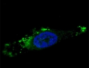 Fluorescent image of chloroquine-treated U251 cells stained with ATG12 antibody. Alexa Fluor 488 conjugated secondary was used. ATG12 immunoreactivity is localized to autophagic vacuoles in the cytoplasm.