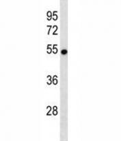 VANGL2 antibody western blot analysis in mouse brain tissue lysate. Predicted molecular weight ~60 kDa.