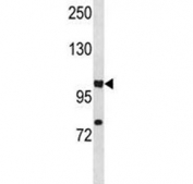 HIF1A antibody western blot analysis in A549 lysate. Routinely observed molecular weight: 100~120 kDa.