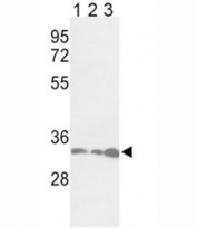 Western blot analysis of anti-PCNA antibody and 1) Jurkat, 2) HeLa, and 3) 293 lysate. Predicted molecular weight ~29kDa, routinely observed at 29~36kDa.