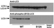 Wild type LC3 and LC3 S12A mutant vectors were transfected into CHO cells and tested with phospho-LC3C antibody (S12A = replacement of the amino acid position 12 serine of LC3 with alanine). Expected size: LC3-I = 16kDa, and LC3-II = 14 kDa