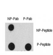 Dot blot analysis of phospho-EGF Receptor antibody and nonphos EGFR pAb. 50ng of phos-peptide or nonphos-peptide per dot were spotted.