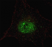 Fluorescent confocal image of SY5Y cells stained with phospho-PDX1 antibody. Alexa Fluor 488 conjugated secondary (green) was used. Note the highly specific localization of the immunosignal to the nucleus.