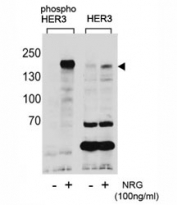 Western blot analysis of extracts from T47D cells, untreated or treated with NRG, using phospho-HER3 antibody (left) or nonphos Ab (right).